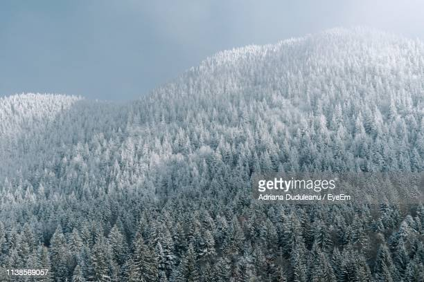 pine trees in forest during winter - deep snow stock pictures, royalty-free photos & images