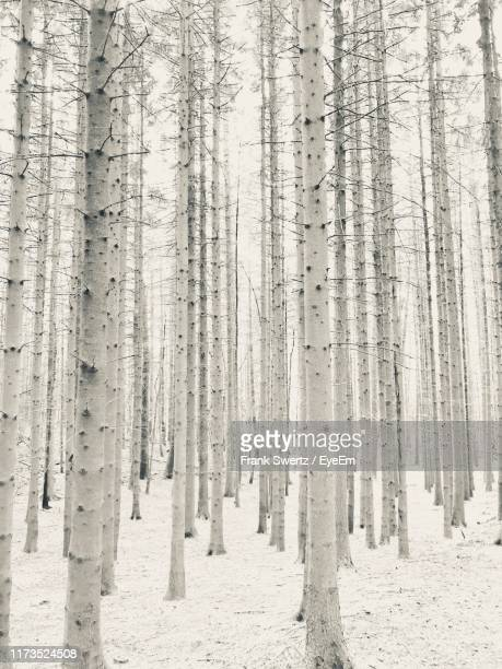 pine trees in forest during winter - frank swertz stock pictures, royalty-free photos & images