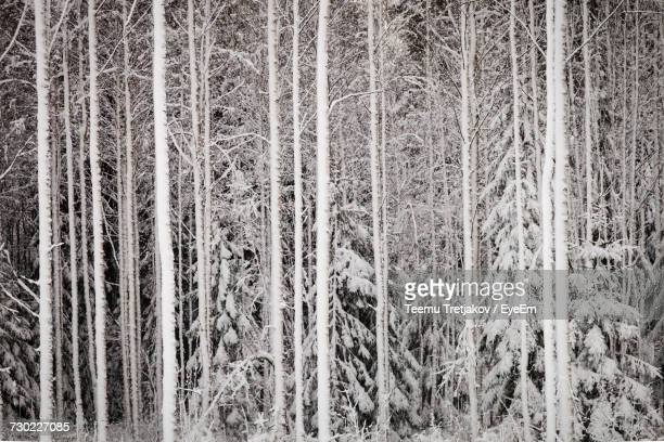 pine trees in forest during winter - teemu tretjakov stock pictures, royalty-free photos & images