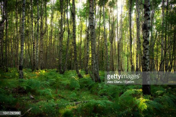 pine trees in forest - alex olariu stock photos and pictures