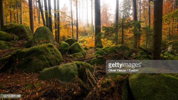 pine trees in forest - tree farm stock pictures, royalty-free photos & images