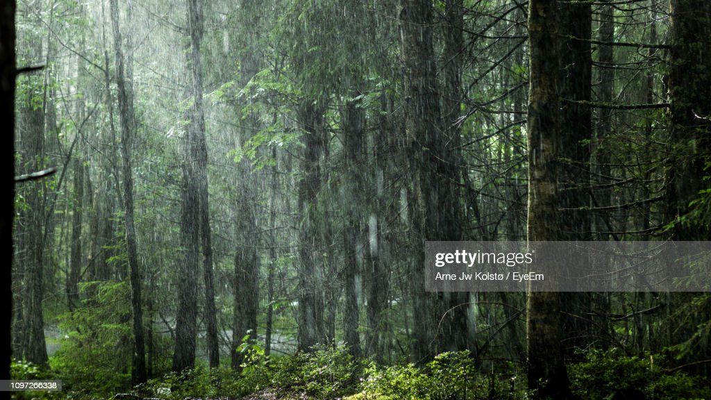 Pine Trees In Forest : Stock Photo