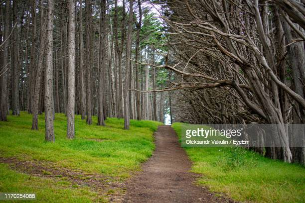 pine trees in forest - oleksandr vakulin stock pictures, royalty-free photos & images