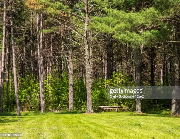 pine trees in forest - pinaceae stock pictures, royalty-free photos & images