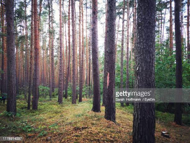 pine trees in forest - thuringia stock pictures, royalty-free photos & images