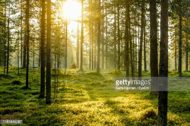 pine trees in forest - pine woodland stock pictures, royalty-free photos & images