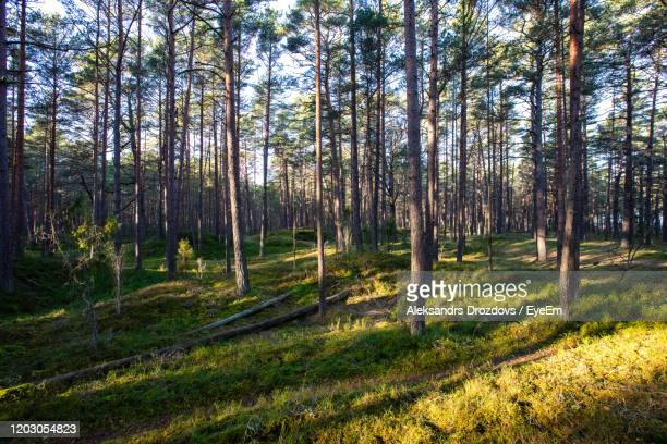 pine trees in forest - latvia stock pictures, royalty-free photos & images