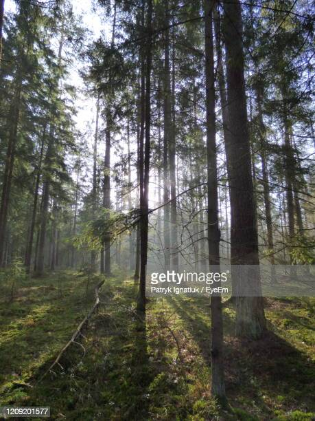 pine trees in forest - bialowieza forest stock pictures, royalty-free photos & images