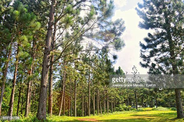 pine trees in forest - davao city stock photos and pictures