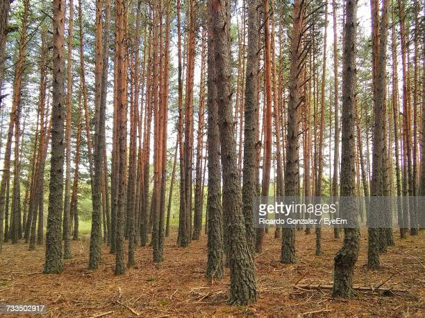 pine trees in forest - 松林 ストックフォトと画像