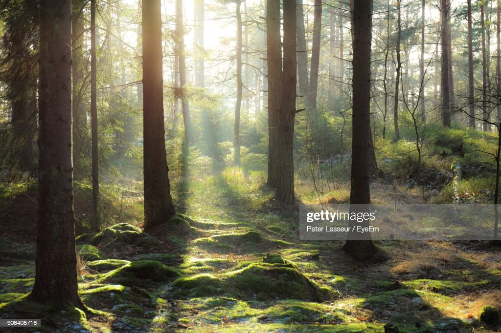 Pine Trees In Forest : Foto de stock