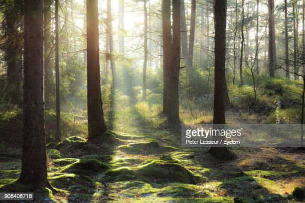 pine trees in forest - naturwald stock-fotos und bilder