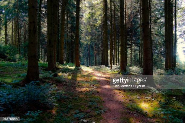 pine trees in forest - mertens stock pictures, royalty-free photos & images