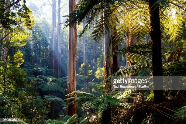 pine trees in forest - tropical rainforest stock pictures, royalty-free photos & images