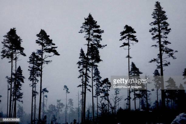 Pine Trees in Winter, Sweden