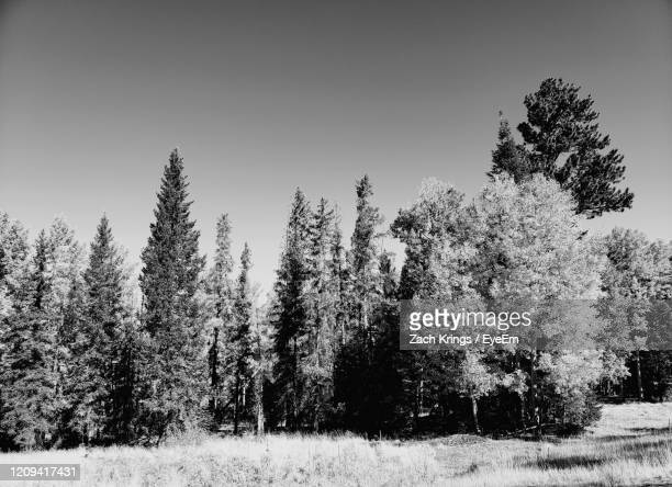 pine trees on field against clear sky during winter - krings stock pictures, royalty-free photos & images