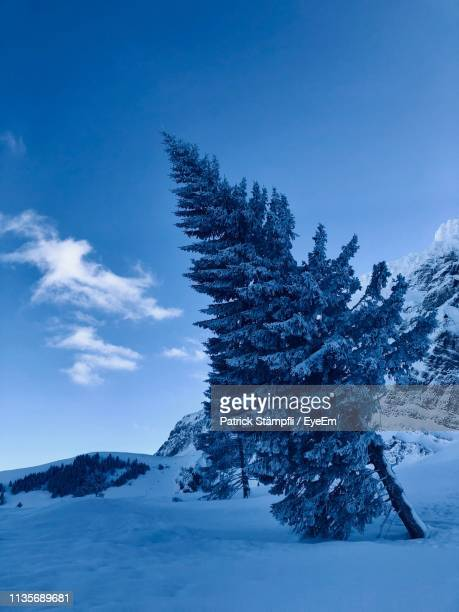 Pine Trees On Snowcapped Mountains Against Sky