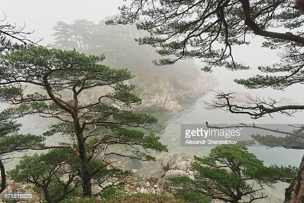 Pine trees over sea