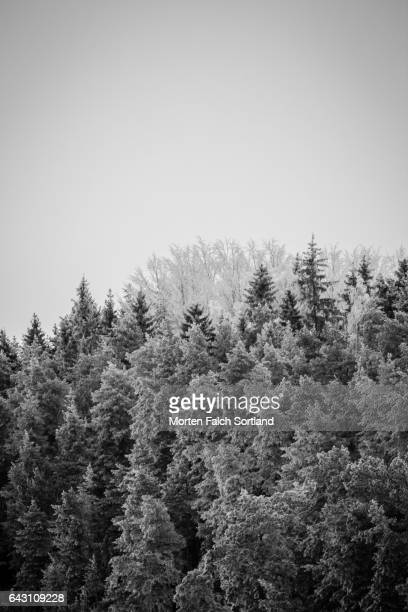 pine trees - winter sports event stock pictures, royalty-free photos & images