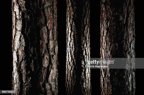 pine trees - tree trunk stock pictures, royalty-free photos & images