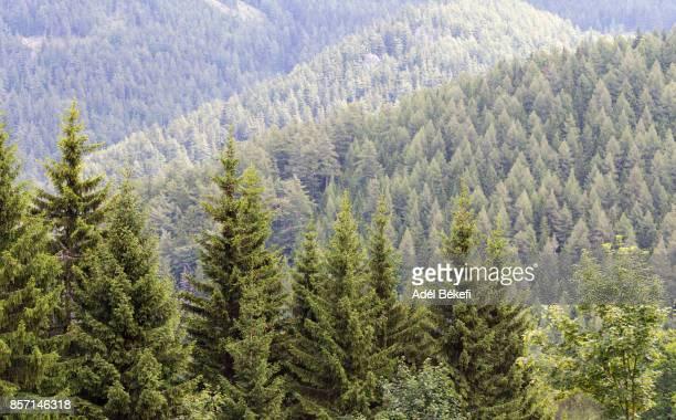 Pine Trees (Semmering, Austria)