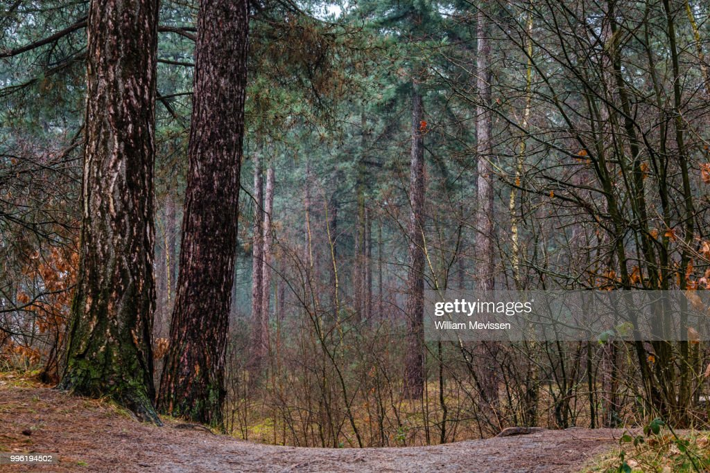 Pine Trees : Stockfoto