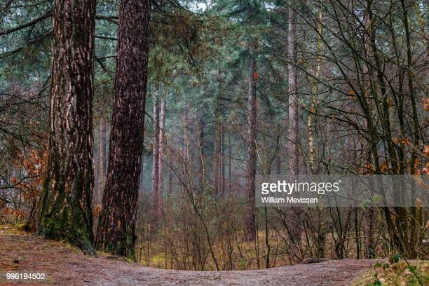 pine trees - william mevissen stock pictures, royalty-free photos & images