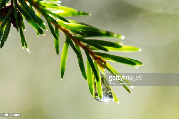 pine twig, close-up - spruce tree stock pictures, royalty-free photos & images