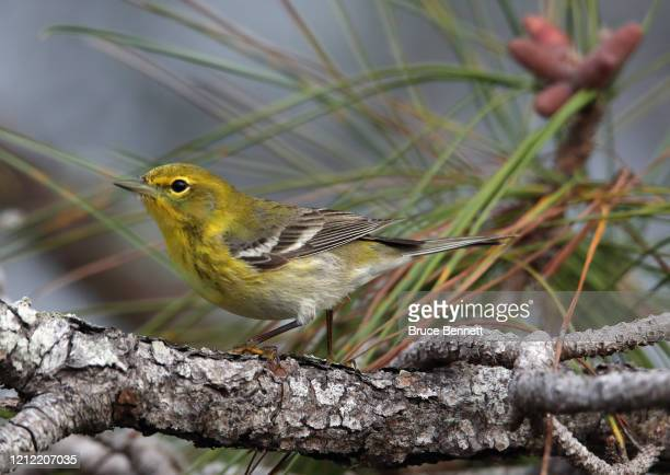 Pine warbler enjoys the morning hours at the Wakodahatchee Wetlands on March 11, 2020 in Delray Beach, Florida.
