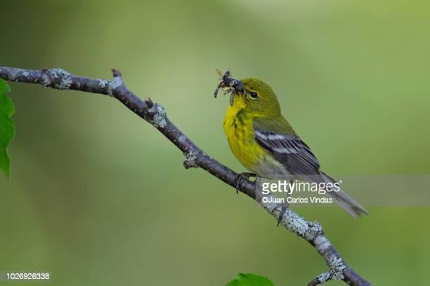 pine warbler (setophaga pinus) - warbler stock pictures, royalty-free photos & images