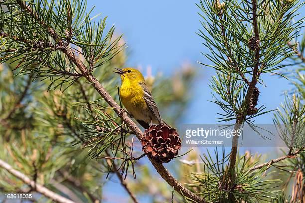pine warbler (dendroica pinus) singing - warbler stock pictures, royalty-free photos & images