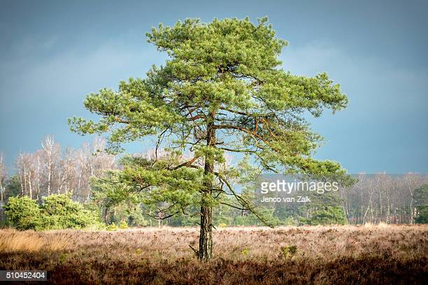 Pine wood tree in the sunlight at a cloudy rainy day