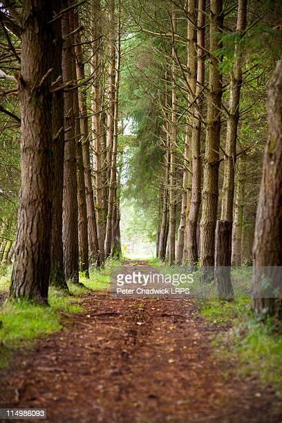 Pine_walk