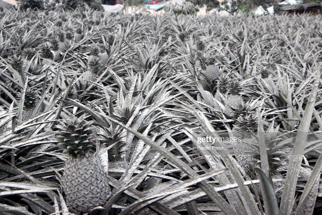 A pineapple farm covered with ash after Mt Taal explosion. : News Photo