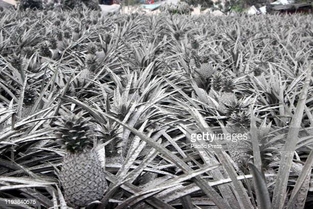 A pineapple farm covered with ash after Mt Taal explosion Tonight the whole town of Tagaytay City was impost a full evacuation after several tremor...