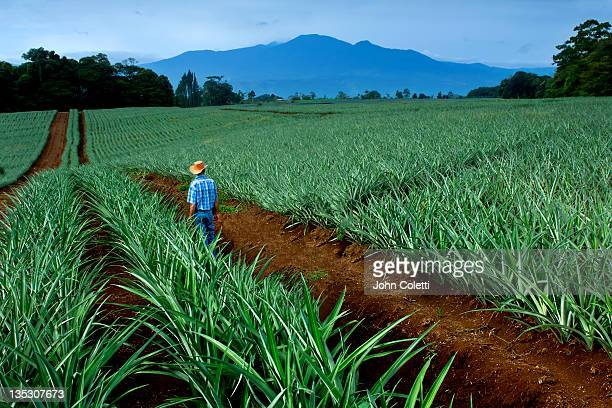 pineapple farm - américa central fotografías e imágenes de stock
