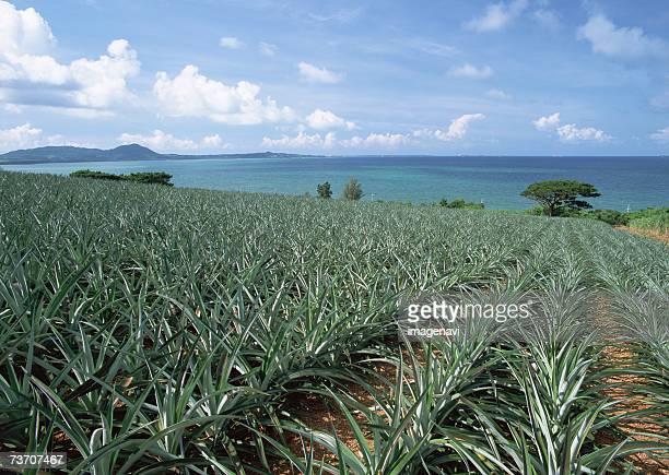 Pineapple field and ocean