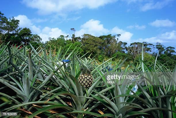 Pineapple field in Okinawa Prefecture, Japan