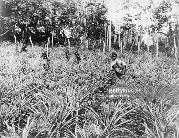 Pineapple field Jamaica