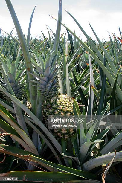 pineapple field - stephan de prouw stock pictures, royalty-free photos & images