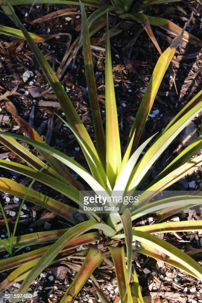 Pineapple Fruit Plant growing at a farm (Ananas comosus)