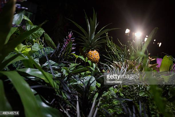 A pineapple grows inside the Lowline Lab in New York US on Monday Oct 12 2015 An underground park in New York City's Lower East Side complete with...