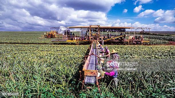 Pineapple Harvest