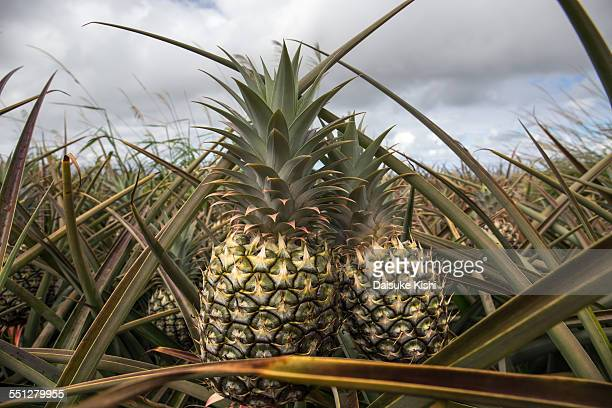 pineapple - bromeliaceae stock pictures, royalty-free photos & images