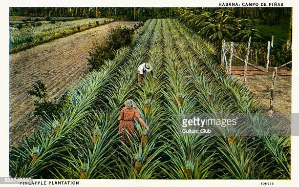 Pineapple Plantation Havana Cuba
