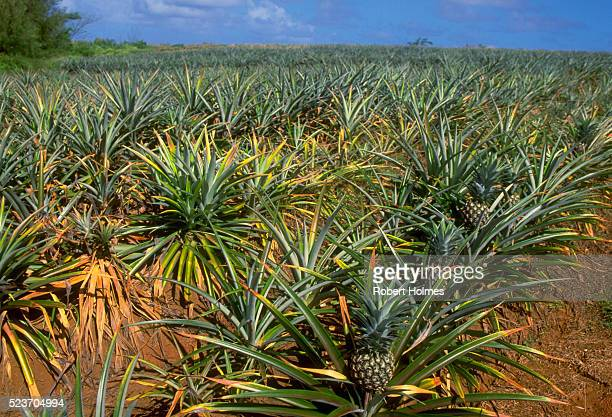 Pineapple Plantation in Cook Islands