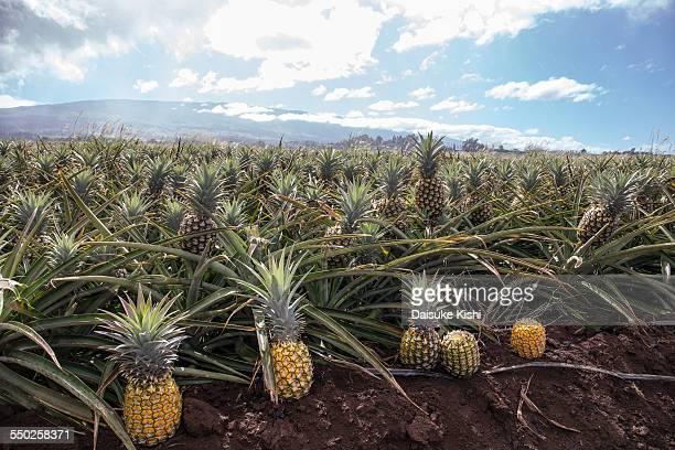 Pineapple Plantation in Maui, Hawaii