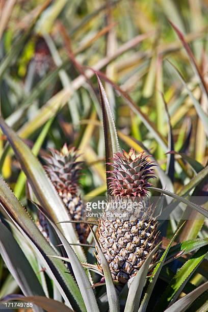 Pineapple plantation, Krabi, Thailand