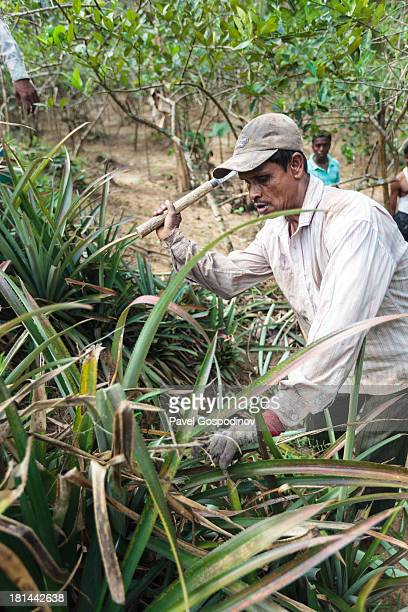 CONTENT] Pineapple plantation workers cutting off plant leaves part of the cultivation process Pineapple plantation near Srimangal Division of Sylhet...
