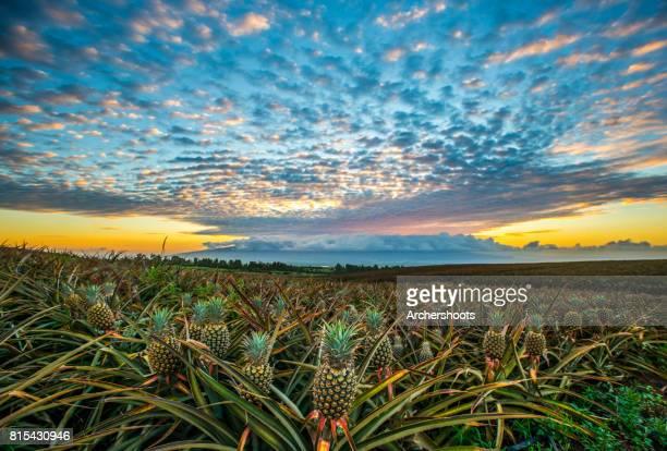 Pineapple sunset